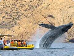 Whale watching tours in Cabo San Lucas